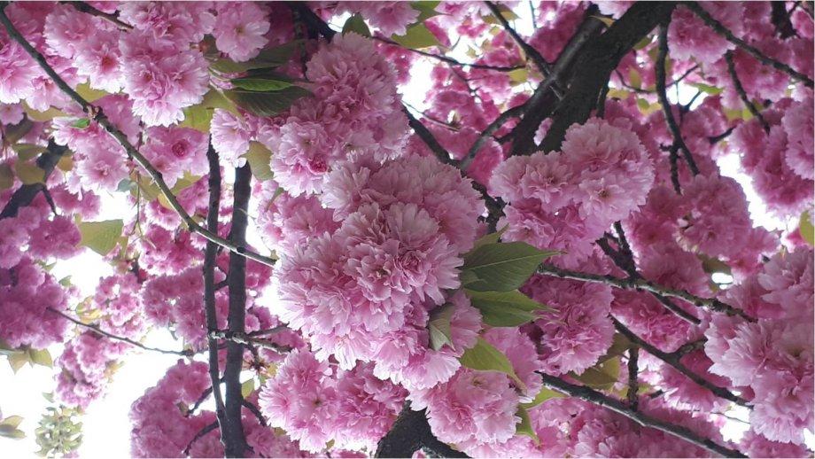 Zakarpackie miasto, gdzie kwitną sakury